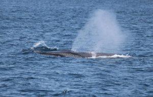 Erkek fin balinaları
