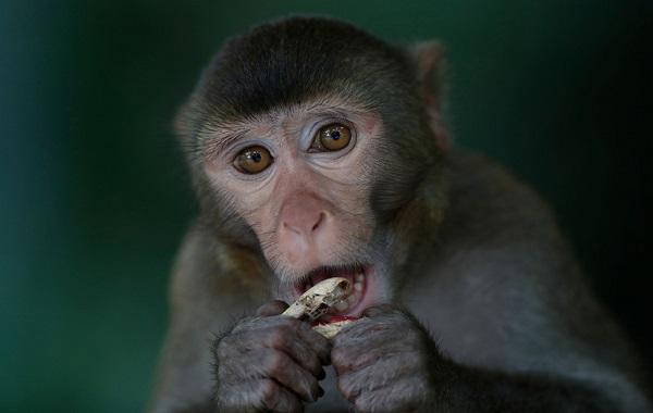 Scientists made monkey brains