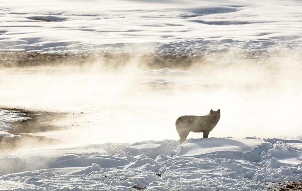 """Zombi geyik hastalığına"""" karşı bizi korumak için kurtlar kullanılacak"""
