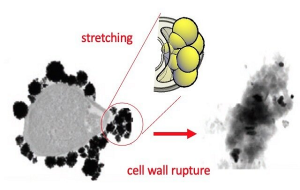 Researchers identify the physical mechanism that can kill bacteria with gold nanoparticles