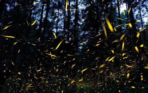 Işık Saçan Böceklerin