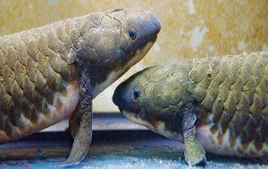 Akciğerli Balıkların Genomu, Omurgalıların Sudan Karaya Geçiş Yaptığını Doğruluyor