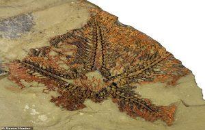 480 Milyon Yıllık Dünyanın En Eski Denizyıldızı Fas'ta Bulundu
