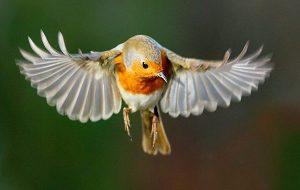 Kuşların Gizemli Bir 'Kuantum Hissi' Olduğu İlk Kez Fiilen Görüldü