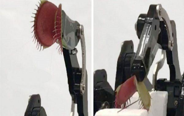 Canlı Sinekkapan Bitkisi Akıllı Telefonla Kontrol Edilen Bir Robota Dönüştürüldü
