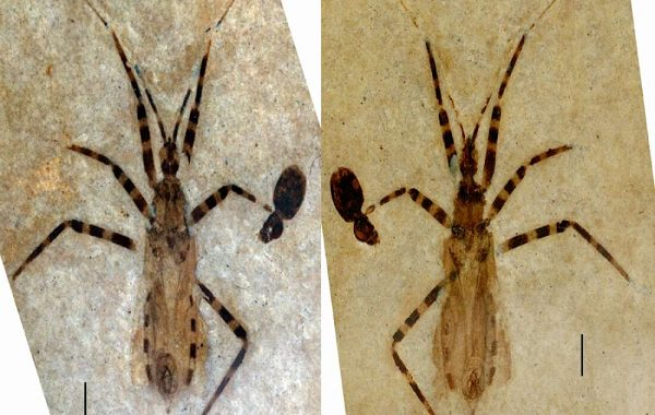 50 Milyon Yıllık Bir Suikastçı Böceği Olağanüstü Korunmuş Halde Bulundu