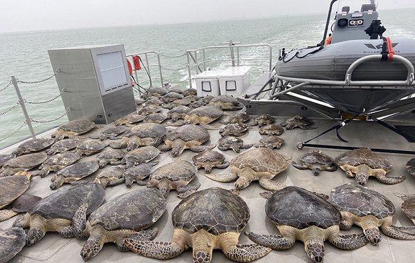 Gönüllüler Soğuktan Hipotermi Geçiren Binlerce Deniz Kaplumbağasını İşte Böyle Kurtardı