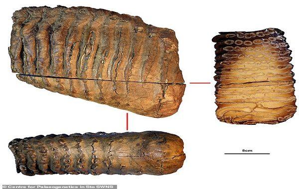 Dünyanın En Eski DNA'sı 1.2 Milyon Yıl Önce Yaşayan Mamut Soyuna Ait Çıktı