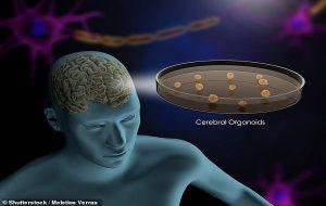 Kök Hücrelerden İnsan Beyni Gibi Olgunlaşan Yapay Beyin Üretildi