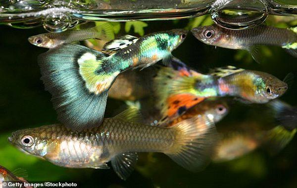 Antidepresan İlacı Prozac, Balıkların Kişiliğini Değiştirip Onları Zombiye Dönüştürüyor