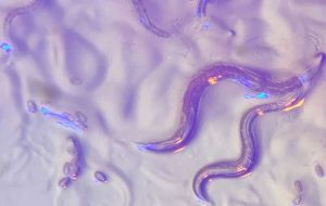 Roundworms read wavelengths