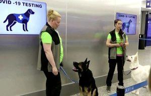 Covid-19 İçin Yetiştirilen Köpekler, Kuluçka Dönemindeki Hastaları Dahi Teşhis Etti