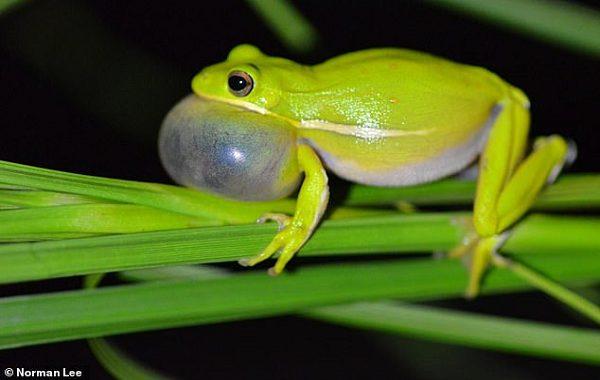 Yeşil Ağaç Kurbağası Akciğerini Şişirerek Doğal Bir Kulaklık Teknolojisi Kullanıyor