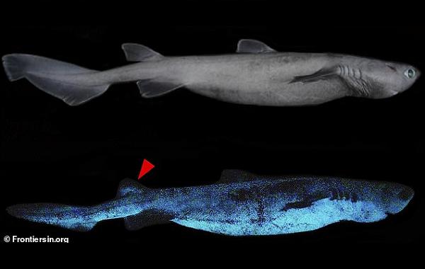 Dünyada İlk Defa Devasa IşığıylaParlayan Biyolüminesans Özelliğe Sahip Köpek Balığı Bulundu