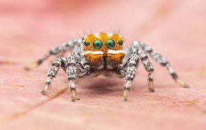 Tavuskuşu Örümceklerine Yeni Bir Tür Eklendi: Adı Nemo