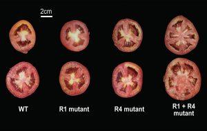 Domates Genleri İçin Bir Artı Bir Her Zaman İki Etmez