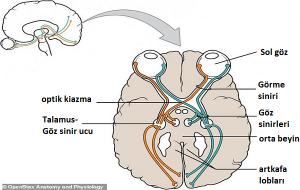 Göz-Beyin Bağlantısında Ders Kitaplarını Tamamen Değiştirecek Bir Keşif Yapıldı