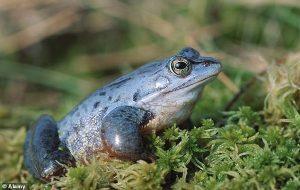 Renk Değiştirebilen Kurbağa Türü, 700 Yıl Sonra İlk Kez Maviye Döndü