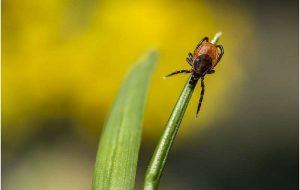 Brain disease transmitted by tick