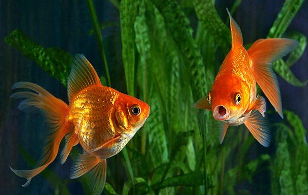 Japon Balıklarının Hafızası Gerçekten de 3 Saniyelik midir?