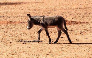 Çöl Mühendisi Eşek ve Atlar Doğal Becerileriyle Ekosisteme Su Sağlıyor