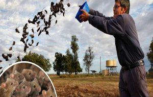 Milyarlarca Fare İçme Suyu Kaynağından Tarlalara Kadar Avustralya'yı İstila Etti