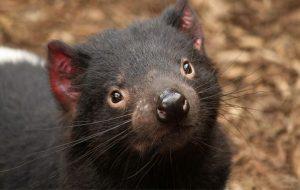 Avustralyada 3000 Yıl Sonra İlk Kez Tazmanya Canavarı Doğdu