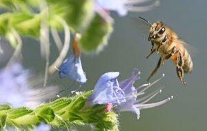 Güney Afrikada Arılar