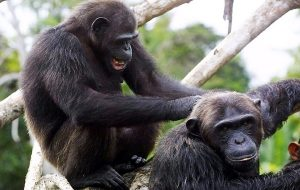 Şempanzeler Sosyal Gruplarına