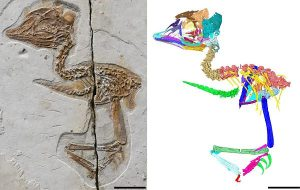 Yarı Dinozor, Yarı Kuş! 120 Milyon Yıl Önce Yaşamış Minik Kuş Fosili Bulundu