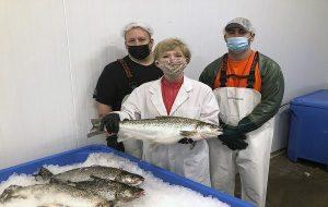 Genetiği Değiştirilmiş İlk Somon Balığı Etiketlenmeden Servise Sunulmayı Bekliyor