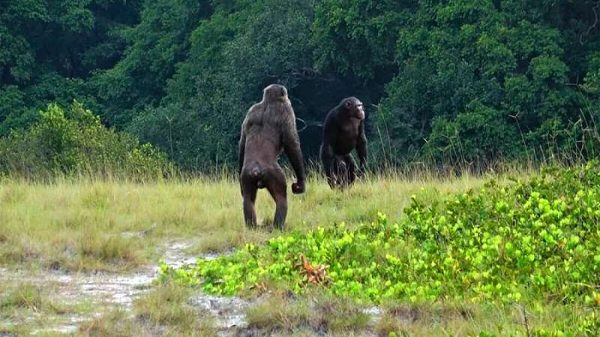 Şempanzeler İlk Kez Gorilleri Öldürürken Görüntülendi