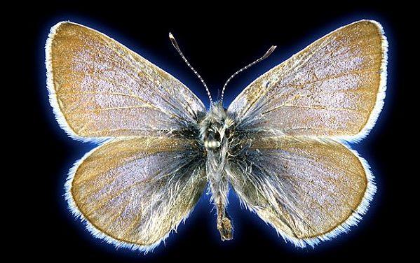 93 Yıllık Kelebeğin DNA'sı Kentleşmeden Soyu Tükenen İlk Böcek Olduğunu İspatladı
