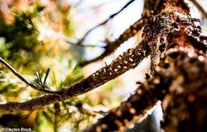 İklim Değişikliği ve Kuraklık Ağaçları Öldüren Bir Hastalığın Yayılmasına Neden Oluyor