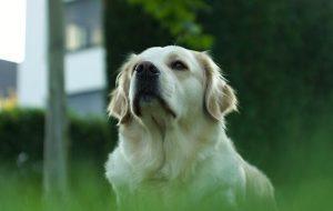 Köpekler İçgüdüsel Olarak Epilepsi Hastalarının Nöbet Geçireceğini Anlayabiliyor