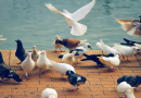 İnsanlarda Doğuştan Şekil Bozukluğuna ve Güvercinlerde Kısa Gagaya Neden Olan Bir Mutasyon Keşfedildi