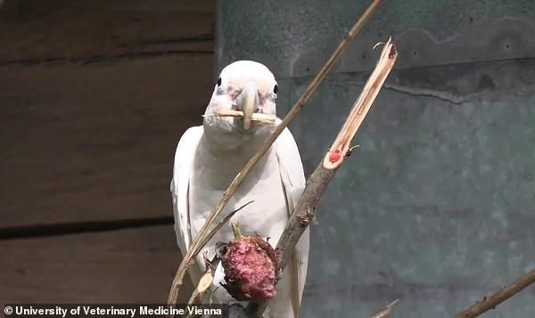 Kuş Beyinli Demeyin! Kakadu Papağanları Dallardan Kaşık, Bıçak Yapıp Kullanıyorlar