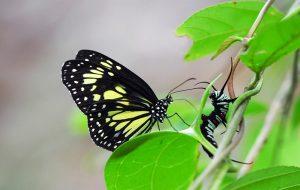 Kral Kelebeklerinin