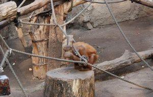 Orangutanlar