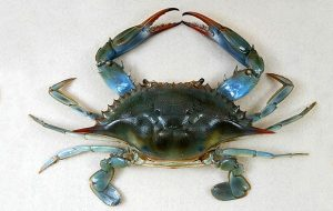 Researchers Sequence Genome of Blue Crab