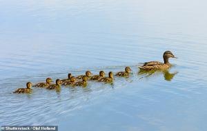 Yavru Ördeklerin Neden Annelerinin Ardında Bir Sıra Halinde Yüzdüğü Bulundu