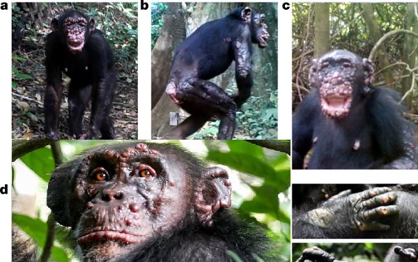 Vahşi Şempanzelerde İlk Kez Cüzzam Keşfedildi. Görüntüler Şok Edici!